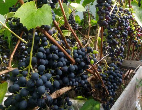 Много гроздей синего винограда на кусте с одним листком