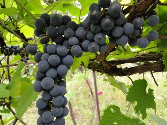 Кисть черного винограда на кусте в листьях