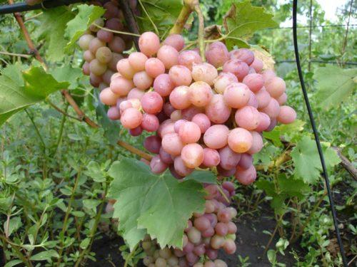 Большая гроздь винограда висит в листве