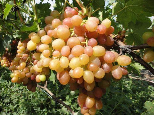 Крупная гроздь винограда сорта Хамелеон