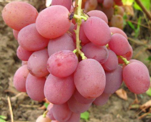 Крупные ягоды розового винограда