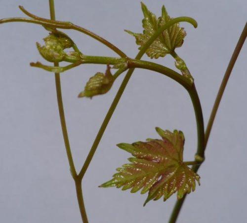 Коронка винограда на белом фоне, гибридный сорт Академик крымской селекции