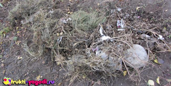 Укрытый на зиму травой и старой мульчой виноград сорта Алёшенькин