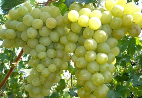 Две крупные грозди столового винограда сорта Антоний Великий с плодами округлой формы