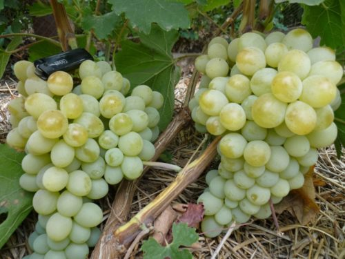 Кисти спелого винограда гибридной формы Антоний Великий с ягодами янтарного оттенка