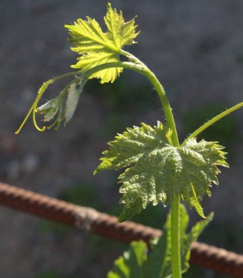 Молодой побег гибридного винограда сорта Антоний Великий российской селекции