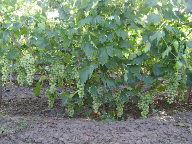 Взрослый куст винограда сорта Антоний Великий с гроздьями ягод в начале стадии созревания