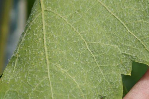Обратная сторона листа винограда гибридной культуры Антоний Великий