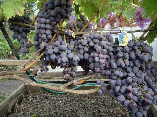 Виноградная лоза гибридной формы Атаман Павлюк под нагрузкой и спичечный коробок