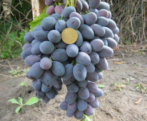 Гроздь винограда гибридного сорта Атаман Павлюк с ягодами насыщенно сине-черного цвета