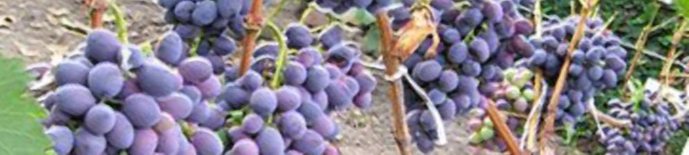 Спелые плоды винограда сорта Атаман Павлюк