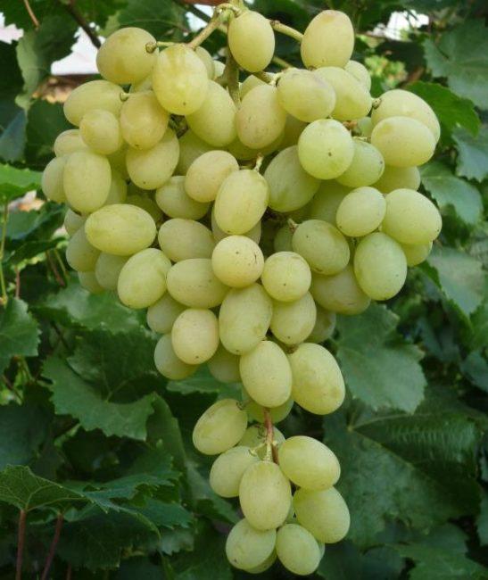 Кисть винограда сорта Августин с овальными плодами нежно-зеленого окраса