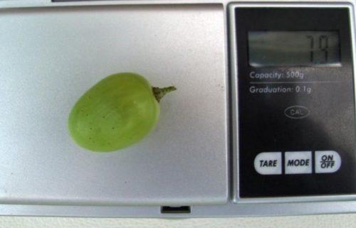 Крупная виноградина весом около 8 грамм столового сорта Августин