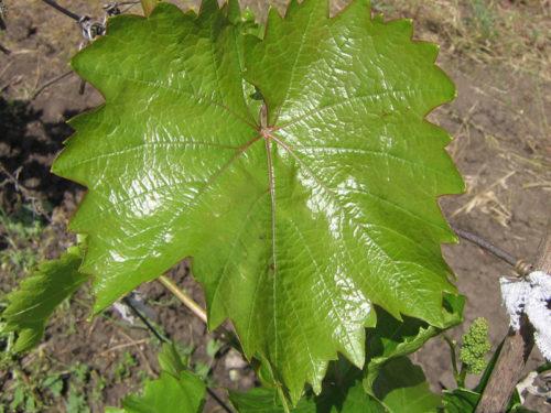 Лист винограда с блестящей поверхностью сорта Августин
