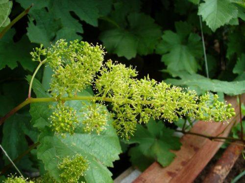 Обоеполое соцветие столового винограда сорта Августин