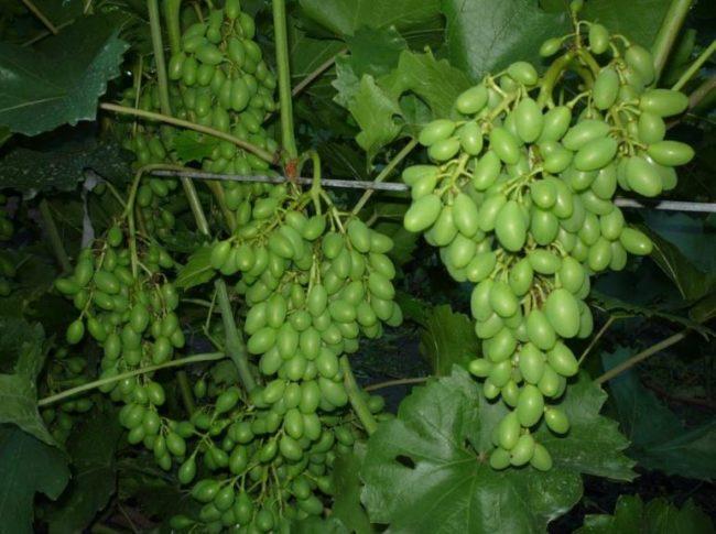 Кисти столового винограда с зелеными завязями плодов вытянутой формы