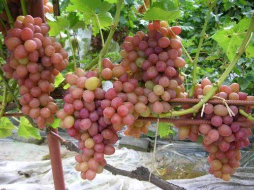 Ветки крупного розового винограда висят на кусте