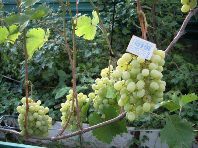 Виноградная лоза под нагрузкой в одну кисть на побеге и спичечный коробок