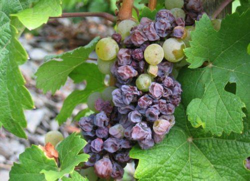 Поражённые плоды винограда висят на ветке