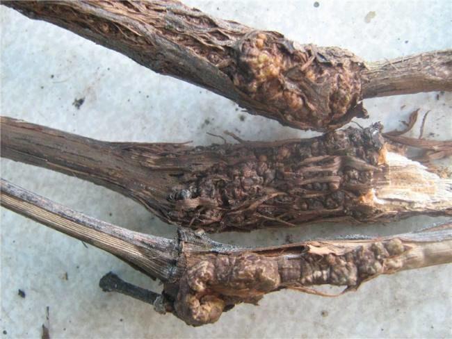 Три виноградные ветки с наростами бактериального происхождения