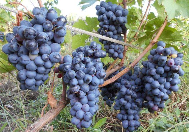 Виноградная лоза сорта Бычий глаз с крупными гроздьями темных ягод