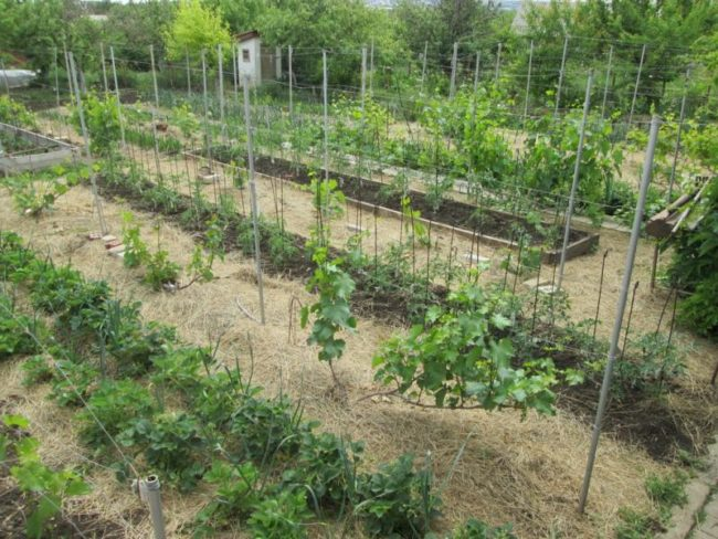 Частный виноградник на личном приусадебном участке и мульчирование сеном поверхности земли