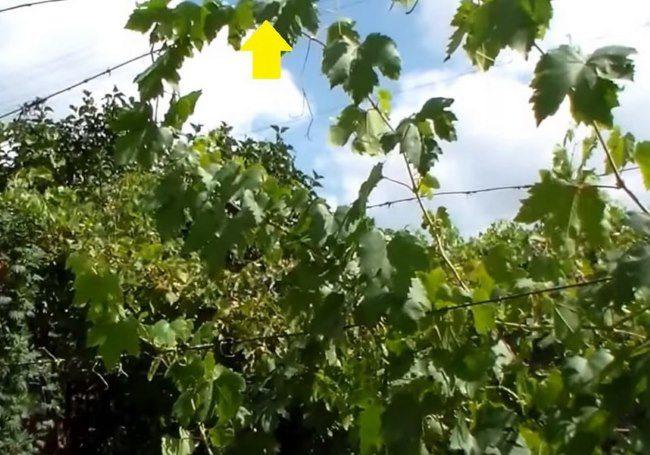 Молодые побеги винограда на шпалере и место обрезки стебля при летней чеканке