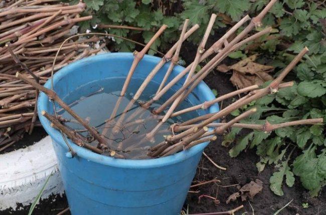 Виноградные черенки в пластиковом ведре с раствором медного купороса
