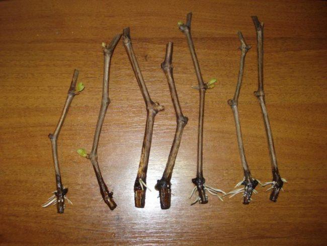 Укоренившиеся черенки винограда с распускающимися почками на столе