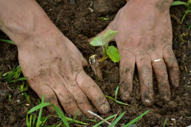 Виноградный чубук с молодыми листиками в земле и руки садовода