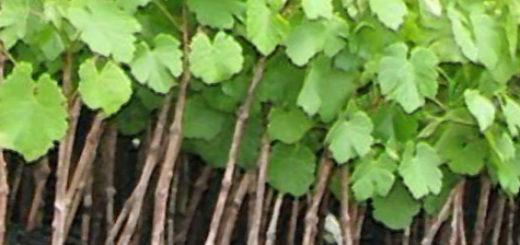 Виноград прорастает из чубуков
