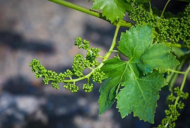 Цветущая кисточка винограда и зеленый лист с голубыми пятнами от медного купороса