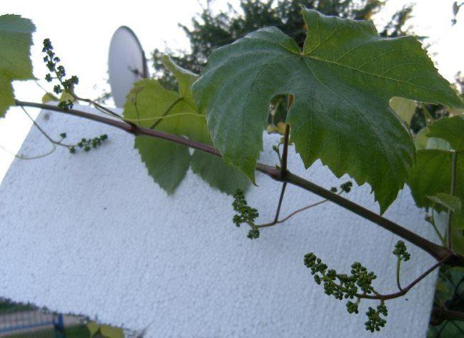 Молодой побег винограда с универсальными соцветиями на фоне куска пенопласта