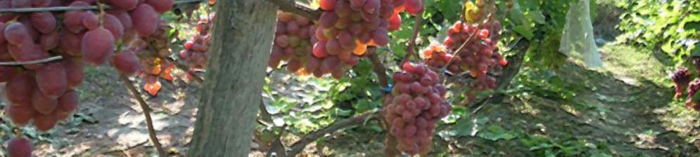 Спелые гроздья винограда сорта Джона на кусте