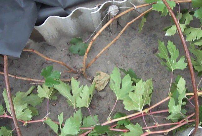 Пригнутые к поверхности земли виноградные ветки и дуги парника