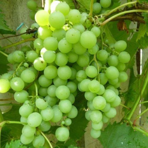 Кисть винограда сорта Дружба с плодами светло-зеленого окраса