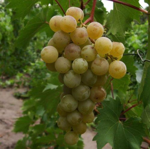 Гроздь винограда сорта Дружба с плодами желто-янтарного оттенка