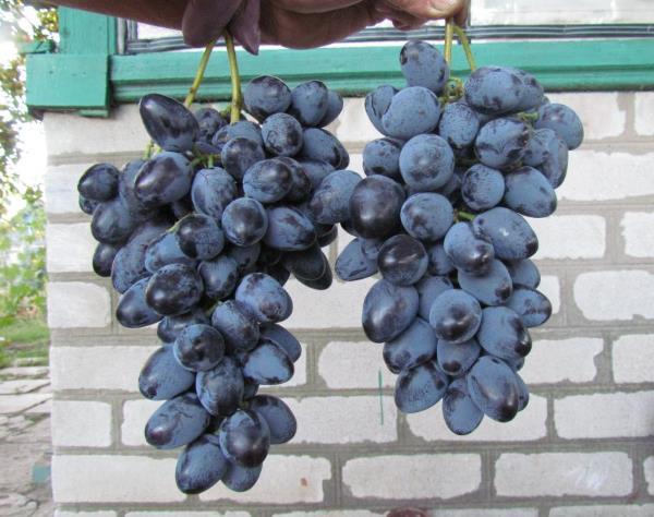 Две крупные грозди гибридного винограда с темно-синими плодами на фоне кирпичной стены