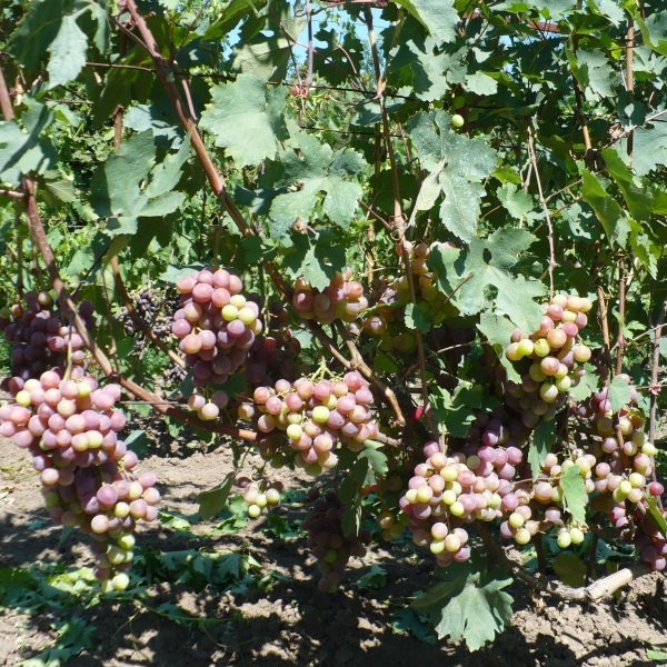 Куст гибридного винограда с гроздьями на стадии окрашивания плодов