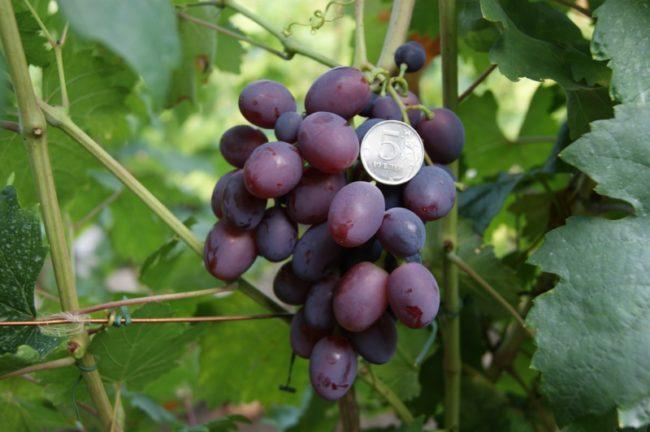 Гроздь столового винограда с ягодами фиолетово-розового окраса и монетка