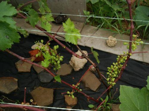 Двухлетний куст винограда сорта Джони с побегами красноватого оттенка