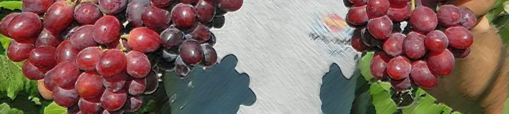 Мужчина держит в руках плоды винограда сорта Эверест