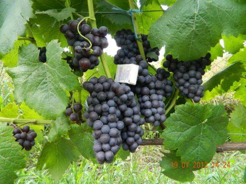 Виноградные грозди сорта Фиолетовый Ранний на ветках в начале осени
