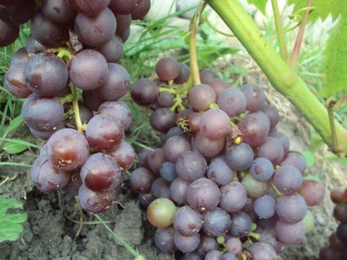 Кисти гибридного винограда Фиолетовый Ранний с ягодами темно-фиолетового окраса
