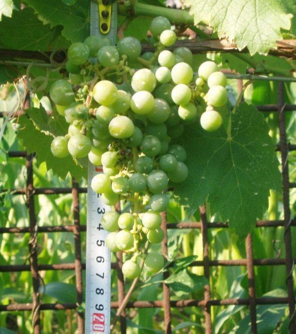 Кисть винограда сорта Фиолетовый Ранний с зелеными плодами и измерительная рулетка