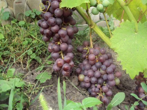 Две крупные грозди винограда универсального сорта Фиолетовый ранний