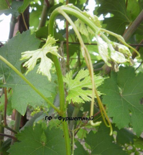 Коронка винограда селекционного сорта Фуршетный вблизи