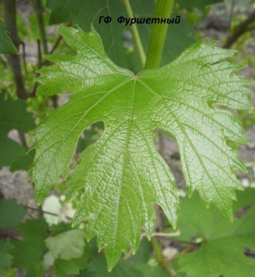 Лист винограда гибридного сорта Фуршетный крупным планом