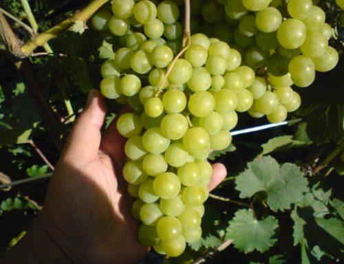 Гроздь столового винограда сорта Галбена Ноу с ягодами янтарного цвета