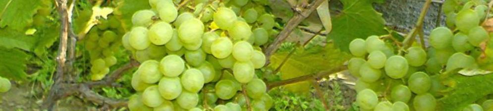 Спелые плоды винограда сорта Галбена Ноу